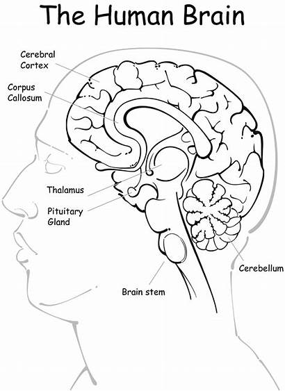 Brain Coloring Anatomy Human Pages Pdf Diagram