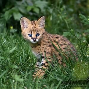 Newborn Serval by darkSoul4Life on DeviantArt