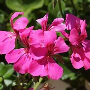 blizzard pink balcony geranium plant free shipping