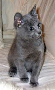 russian blue cat pictures cats and kittens russian blue