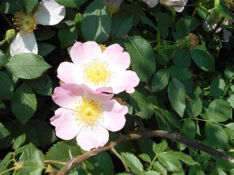 rosenhecke schneiden wann wie und wie viel