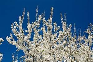 Baum Mit Weißen Blüten : bl henden fr hling baum zweige mit wei en bl ten ber ~ Michelbontemps.com Haus und Dekorationen