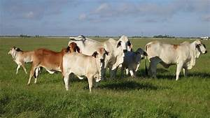 Cattle cows prices | Clasf