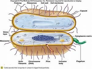 Medical Microbiology 209  U0026gt  Strauss  U0026gt  Flashcards  U0026gt  Chapter