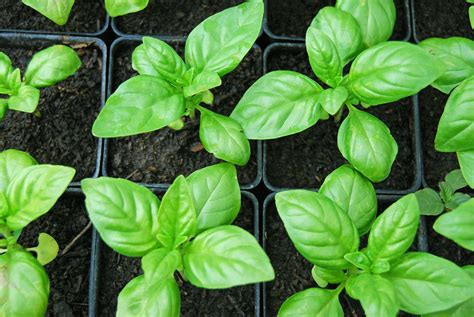 where to buy basil plants 7 tips for growing mad giant basil plants offbeathome