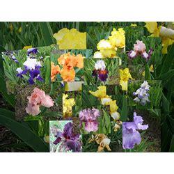 bearded iris bulbs flower bulbs bulk terra ceia farms