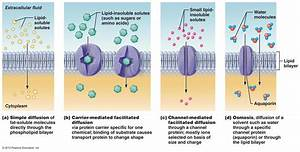 The Different Types Of Transportation Across The Cell
