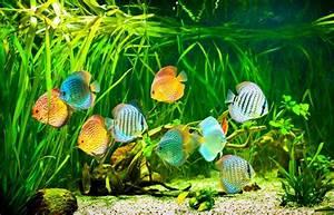 Diskus Fische Fr Ihr Aquarium Naturendo