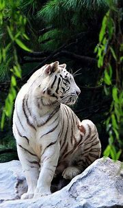 Nice 25 Best White Tiger Photographic https://meowlogy.com ...
