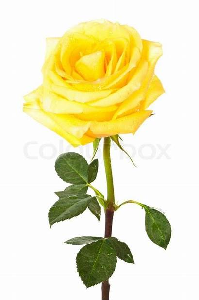 Rose Yellow Single Flower Clipart Background Pale