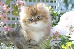 Adult Teacup Persian Cats Kittens