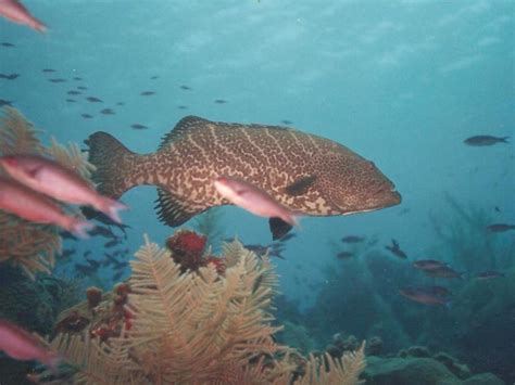 grouper rock bahamas end west fish related