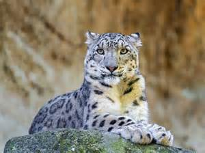 cat species cats are going extinct 12 most endangered feline species
