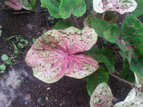 pink elephant plant top 28 pink elephant ear plant best 25 elephant ear plant ideas on pinterest elephant
