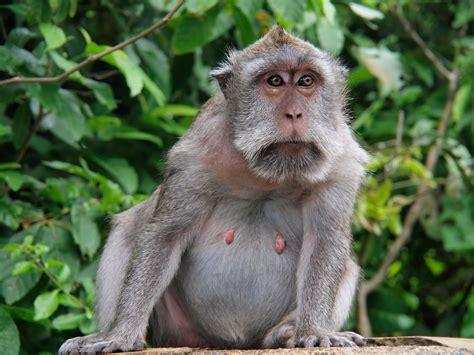 Fat Monkey Images
