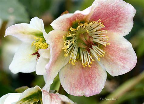 elleboro fiore epicuro e le erbe elleboro rosa di natale