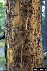 Larger Pine Shoot Beetle Tomicus Piniperda Coleoptera