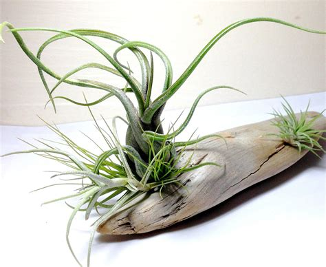 air plant air plants on driftwood mounted tillandsias on by plantzilla