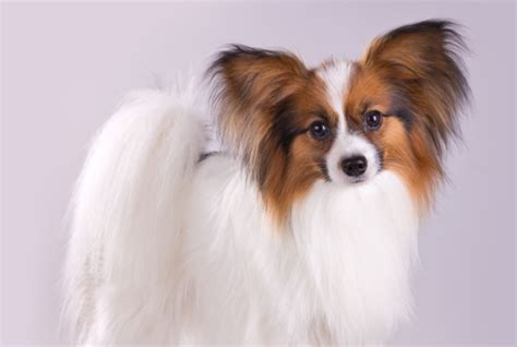 10 Fancy Facts About the Papillon   Mental Floss
