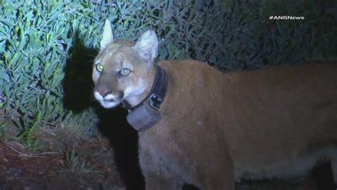 mountain lion spotted overnight  simi valley  deadly dog attack
