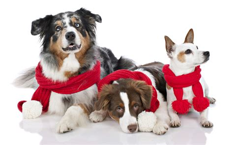 Find and download dog christmas wallpapers wallpapers, total 25 desktop background. Christmas Dogs Wallpapers High Quality | Download Free