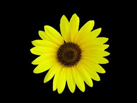 yellow daisy flowers nature background wallpapers