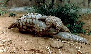 What the Heck Is a Pangolin? - The Wire