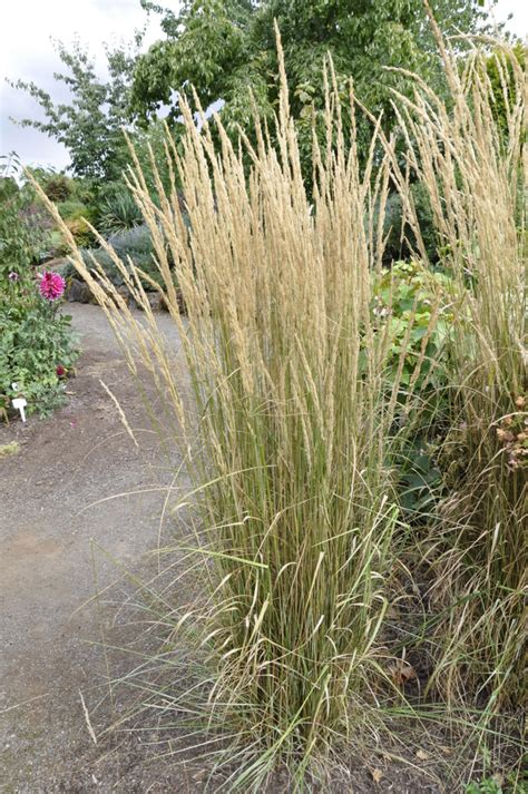 feather reed grass calamagrostis acutiflora overdam the site gardener