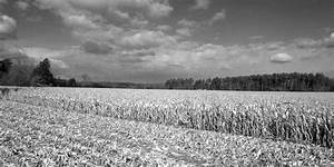 Corn Field In Black And White by Richard Migot
