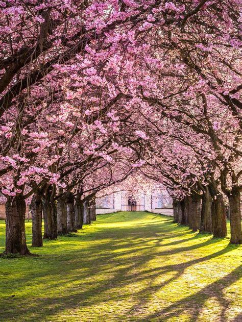 Japanischer Garten Dänemark by Die Besten 25 Japanische Kirschbl 252 Ten Ideen Auf