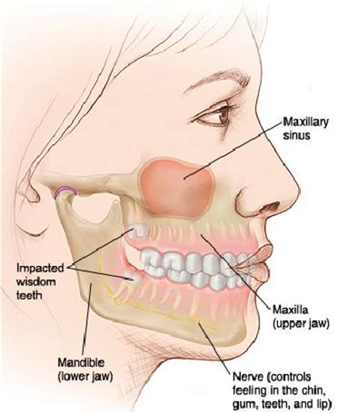 Diagram Of Right Rear Molar by Wisdom Tooth Extraction Procedure Wisdom Teeth Treatment