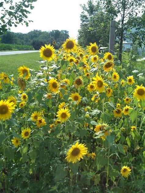Sunflower Garden Sunflower Fields Lawn Garden