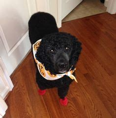 Booties Protect Hardwood Floors by 1000 Images About Dogs Wearing Boots Shoes On