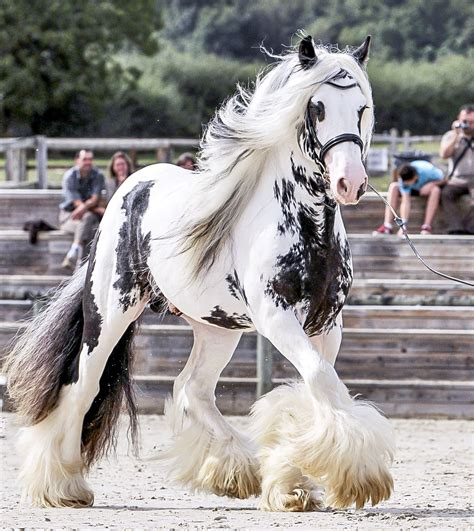 cheval gypsy vanner horse irish horses cob friesian frison chevaux animaux visiter frisons