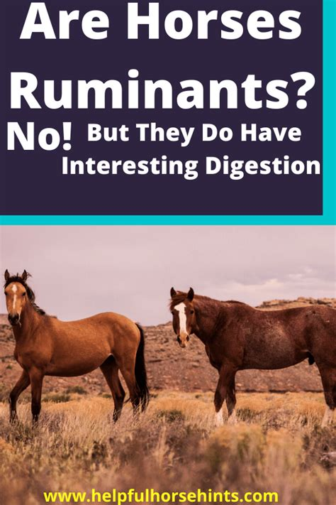 horses ruminants they horse animal cud chew helpfulhorsehints animals digestive grass eat