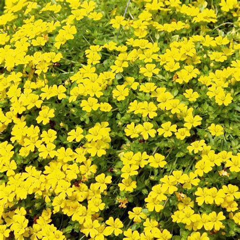 yellow flowering bushes bacopa plants yellow july flowers to plant what flowers to plant in flowers garden