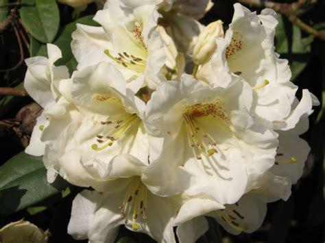 Rododendrai - sodų aristokratai - DELFI Gyvenimas