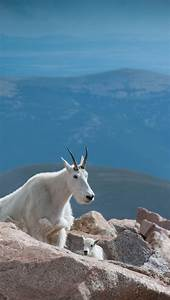 25+ best ideas about Mountain goats on Pinterest | Wild ...