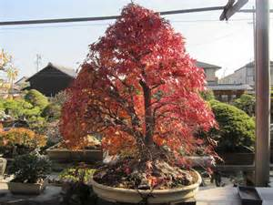 apprenticeship and a japanese maple tea bonsai