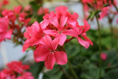 how to grow geranium growing geraniums indoors hometalk
