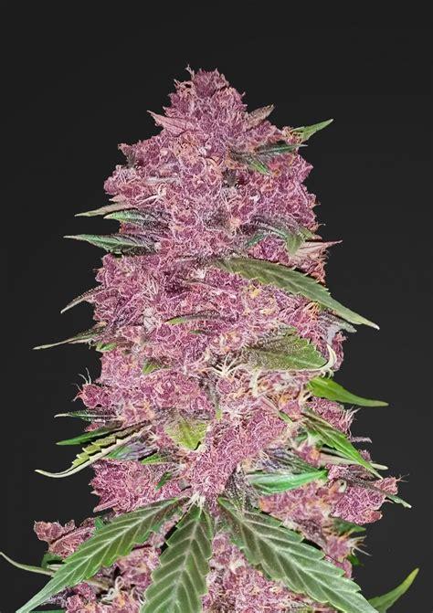 Buy Fastbuds Seeds Purple Lemonade Auto Cannabis Seeds