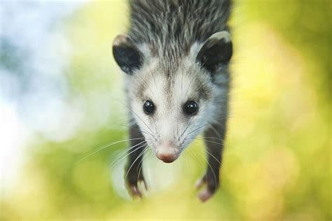 Possum Backyard by Baby Opossum Flickr Photo