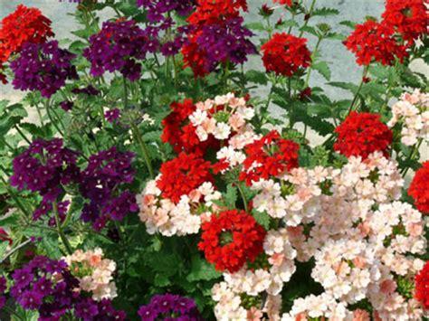 Plant De Verveine Rampante- Jardinerie Taberner Fleurs