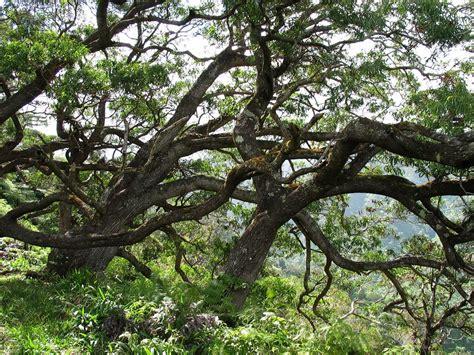 acacia koa koa fabaceae legume  pea family endemic