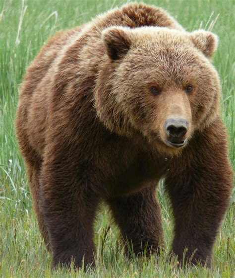 grizzly bear basic facts   pictures  wildlife
