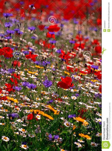 colourful wildflower meadow england stock image image