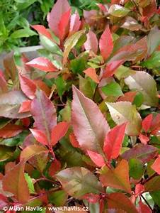 Photinia Fraseri Robusta Compacta : photinia x fraseri 39 little red robin 39 ~ Buech-reservation.com Haus und Dekorationen