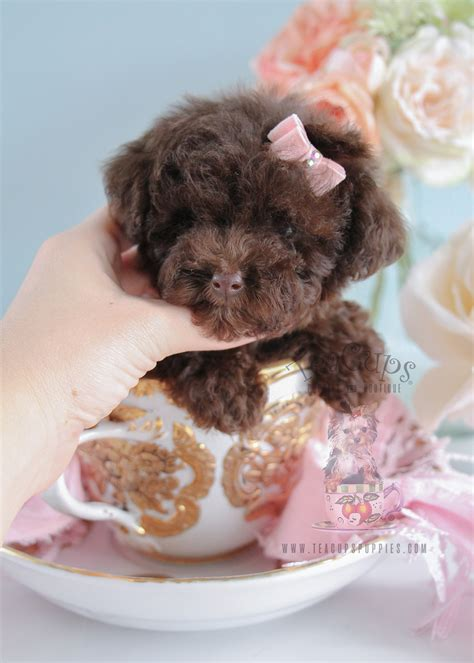 tiny toy poodle puppies  sale teacups puppies boutique