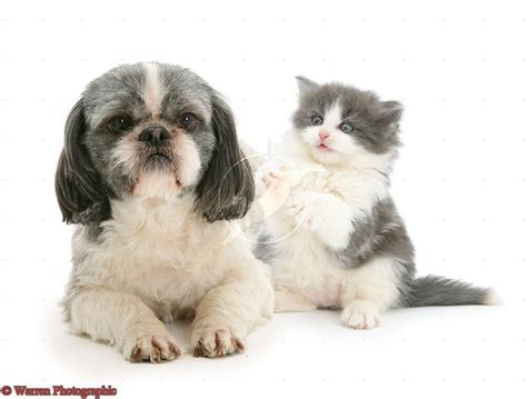 cute dogs shih tzu