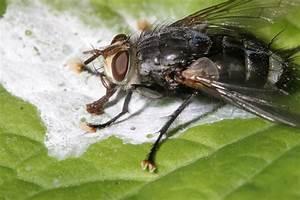 House Fly Poop